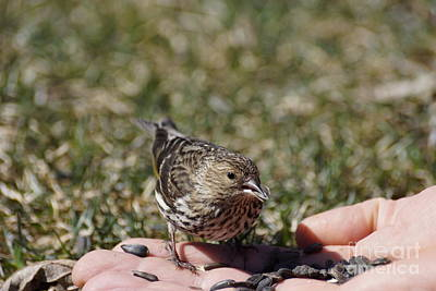 Thawing Time Photograph - Feeding The Pine Siskin 3 Of 4 by Cathy Sullivan