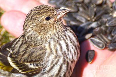 Thawing Time Photograph - Feeding The Pine Siskin 4 Of 4 by Cathy Sullivan