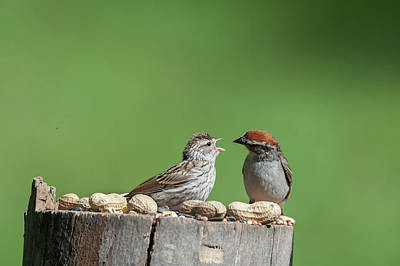 Photograph - Feeding Time Doesn't Stop Even After Leave The Nest by Dan Friend