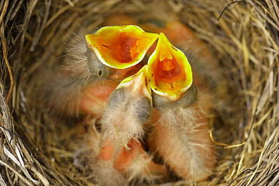 Birds Rights Managed Images - Feeding Time Royalty-Free Image by Jeff Swan