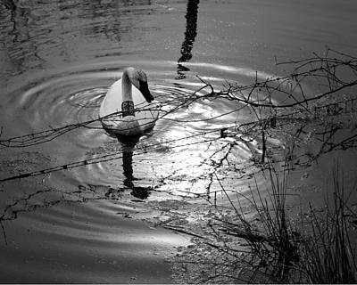 Photograph - Feeding Trumpeter Swan In Black And White by Michael Dougherty