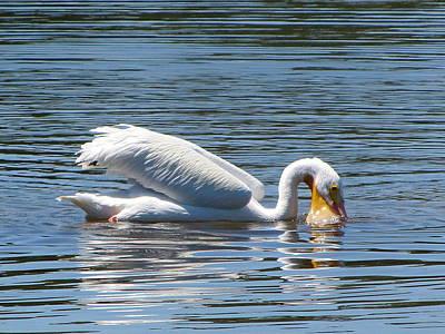 Photograph - Feeding White Pelican    by Chris Mercer