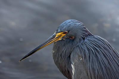 Florida Birds Photograph - Feeling Blue by Evelina Kremsdorf
