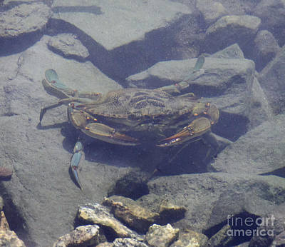 Photograph - Feeling Crabby by Cindy Lee Longhini