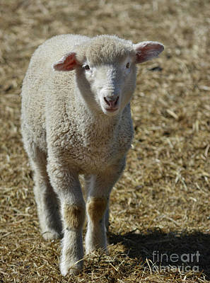 Photograph - Feeling Sheepish by Vivian Martin