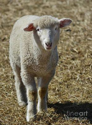Photograph - Feeling Sheepish by Vivian Martin