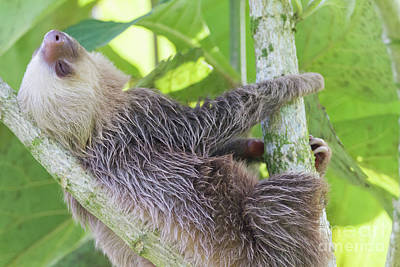 Photograph - Feeling Slothful by Chris Scroggins