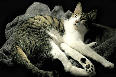 Gray Tabby Photograph - Feline Lounge by Diana Angstadt
