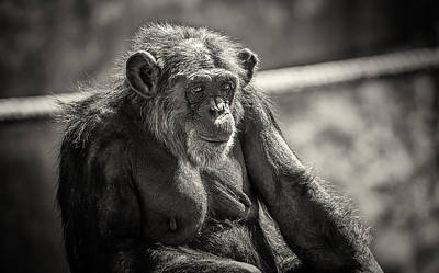Grace Kelly - Female Adult Chimpanzee  by Levana Sietses