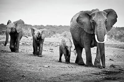 Black And White Photograph - Female African Elephant by Cedric Favero