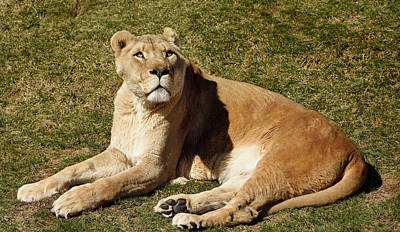 Toronto Photograph - Female African Lion Lying On Grass Looking Up To The Sky by Reimar Gaertner