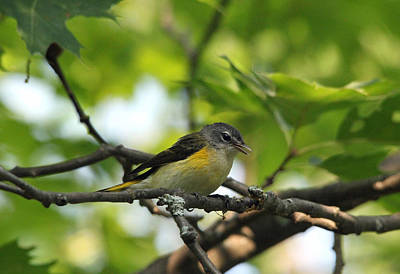 Photograph - Female American Redstart by Debbie Oppermann