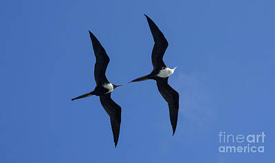 Photograph - Female And Juvenile Magificent Frigatebird Fregata Magnificens 2 by Rick Bures