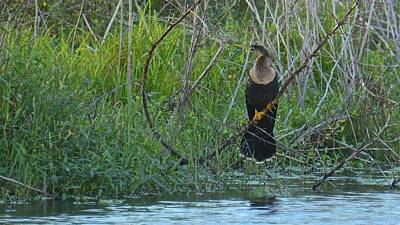 Photograph - Female Anhinga In Breeding Colors by Carol Bradley