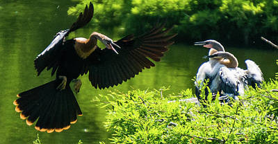 Photograph - Female Anhinga With Her Babies by Vincent Billotto