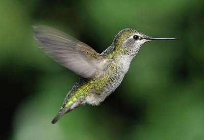 Focus On Foreground Photograph - Female Anna's Hummingbird In Flight by Barbara Rich