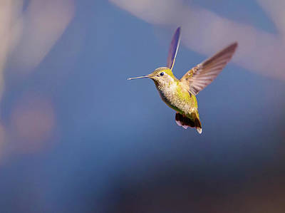 Photograph - Female Annas Hummingbird by Keith Boone