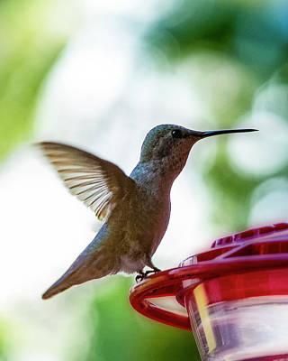 Female Anna's Hummingbird V24 Original