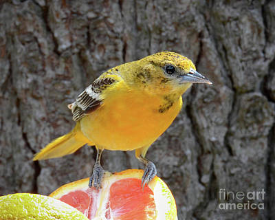 Photograph - Female Baltimore Oriole by Amy Porter