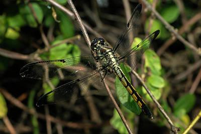 Photograph - Female Bar-winged Skimmer by Liza Eckardt