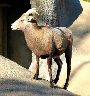 Photograph - Female Bighorn Sheep Ewe by Rose Santuci-Sofranko