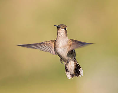 Photograph - Female Black Chinned Hummingbird by Loree Johnson