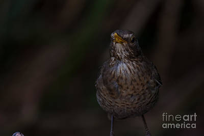 Photograph - Female Blackbird by Brian Roscorla