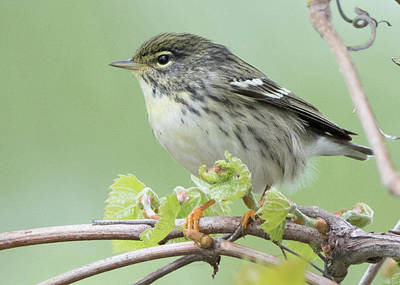 Photograph - Female Blackpoll by Wade Aiken