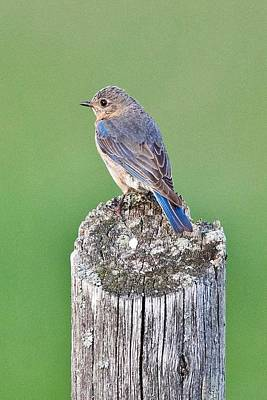 Photograph - Female Blue Bird by Michael Peychich