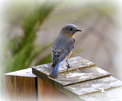 Photograph - Female Bluebird by Brenda Bostic
