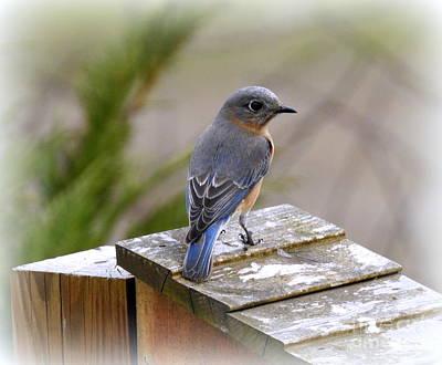 Photograph - Female Bluebird by Brenda Bostic