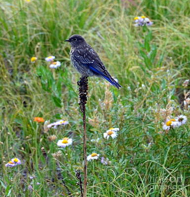 Photograph - Female Bluebird by Dorrene BrownButterfield