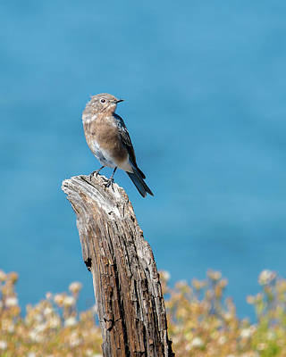 Photograph - Female Bluebird In Yellowstone by Yeates Photography