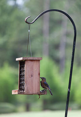 Photograph - Female Bluebird On The Suet Feeder by Suzanne Gaff