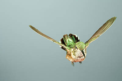 Photograph - Female Broadbill In Flight by Gregory Scott