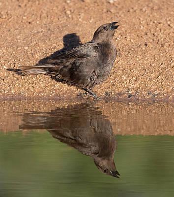 Photograph - Female Bronzed Cowbird by Dee Carpenter