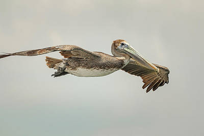 Photograph - Female Brown Pelican In Flight by Joni Eskridge