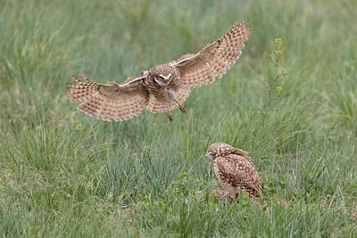 Photograph - Female Burrowing Owl Flies In To Join Its Mate by Tony Hake