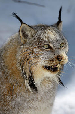 Lynx Photograph - Female Canada Lynx Baring Her Teeth In The Shade Of A Winter For by Reimar Gaertner
