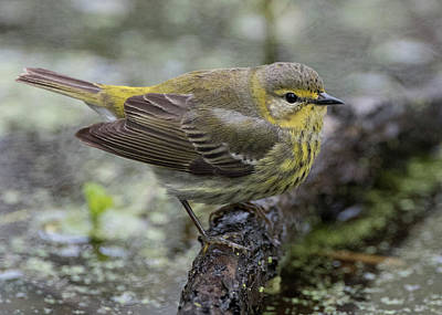 Photograph - Female Cape May Warbler by Wade Aiken