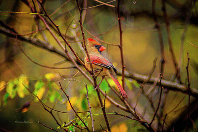 Photograph - Female Cardinal #1 by Timothy Harris