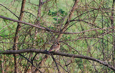Photograph - Female Cardinal 20120419a_68a by Tina Hopkins