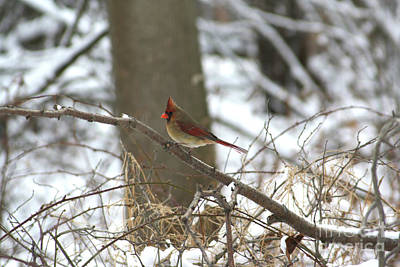 Photograph - Female Cardinal by Alyce Taylor