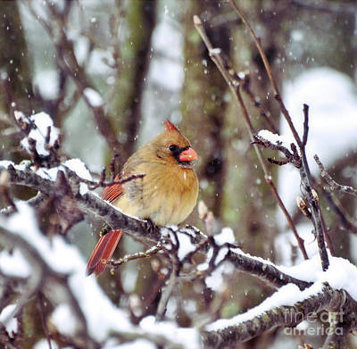 Photograph - Female Cardinal As The Snow Falls  by Kerri Farley