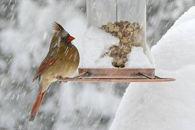 Photograph - Female Cardinal At Snowy Birdfeeder by Tana Reiff