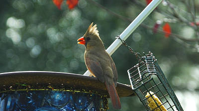 Photograph - Female Cardinal At The Feeder by Judy Wanamaker