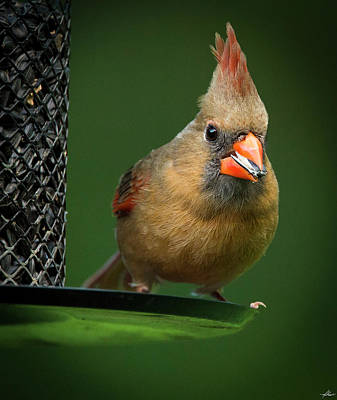 Photograph - Female Cardinal At The Feeder by Philip Rispin