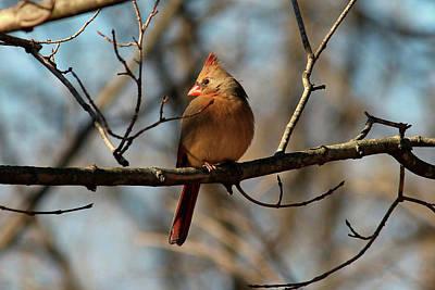 Photograph - Female Cardinal by Brad Chambers