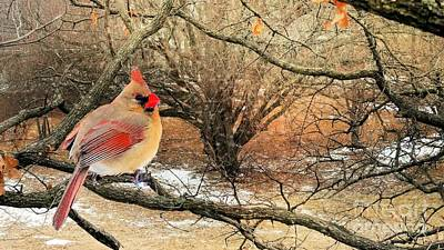 Photograph - Female Cardinal Caught In The Snow by Janette Boyd
