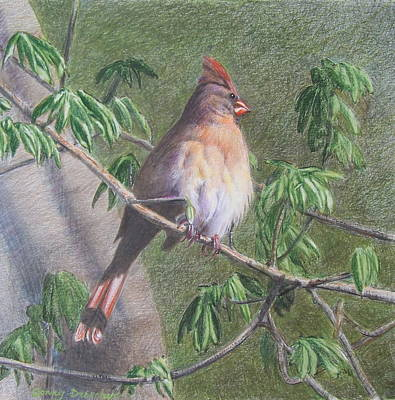 Mixed Media - Female Cardinal by Constance DRESCHER